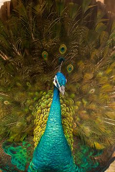 From Scratch: How to Raise Peafowl