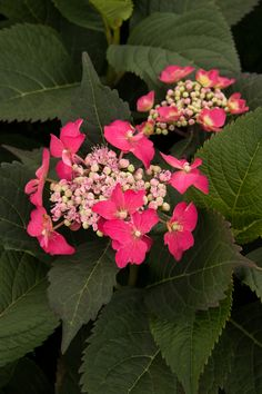 Seaside Serenade® Cape May Hydrangea's very large lacecap blooms stand tall, supported by strong, extra hardy stems. Flowers will be blue in acidic soils, and more pink in neutral to alkaline soils. Compact mounded form is ideal for borders. Serrated leaves show touches of red and burgundy in the sun, as they age. A Monrovia exclusive introduction for 2017. Deciduous. Zones 4-9