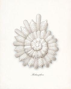 Coastal Decor Ernst Haeckel Sea Shell by vintagebytheshore on Etsy