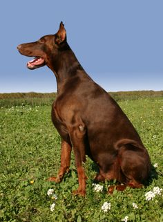 Red Doberman. Love this color!