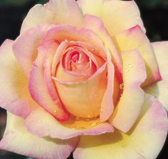 Our Little Acre: For Love of a 'Peace' Rose. History of the 'Peace' rose. The one in my garden is in bloom today. Love Rose, Pretty Flowers, Yellow Roses, Pink Roses, Peace Rose, Rose Pictures, Rose Images, Coming Up Roses, Climbing Roses