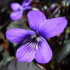 woodland flower - violet