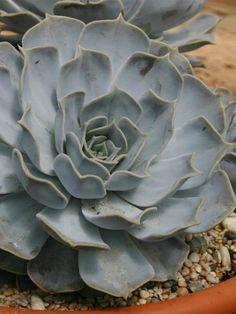 ▷ TODO sobre la Echeveria Lilacina - Cactus y Suculentas. Como es, etc. Rare Succulents, Succulent Pots, Planting Succulents, Echeveria, Red Flowers, Colorful Flowers, Color Lila, Bonsai Garden, Rare Plants