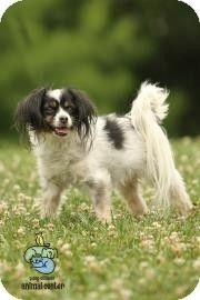 Knoxville, TN - Papillon Mix. Meet Dusty, a dog for adoption. http://www.adoptapet.com/pet/10941877-knoxville-tennessee-papillon-mix