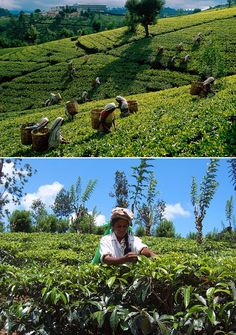 We source all our tea right here in Sri Lanka, using a combination of high and low grown leaves and the best local technology to create our unique Spa Ceylon blend of white tea, green tea and black tea.