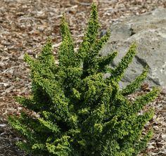 Chamaecyparis obtusa Chirimen Dwarf Japanese Hinoki Cypress