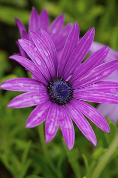 Beautiful purple Gerber daisy. Love the dew or water on the flowe petals. By him_man - Originally pinned from http://flower-arrangement-441.blogspot.com/2013/12/where-you-place-your-flower_15.html.