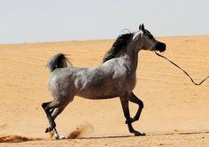 Desert grey arabian