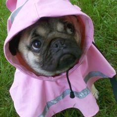 Going for a walk in my pink raincoat! #pugs