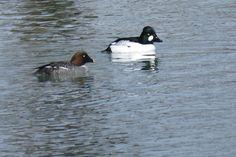 Bird Photos, Birding Sites, Bird Information: COMMON GOLDENEYES, DUFFERIN ISLANDS PARK/NIAGARA R...
