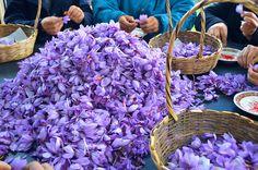 Ich war im November in Marokko und hatte die Chance, eine Safran-Farm zu besuchen. Vielen ist #Safran als eines der teuersten #Gewürze der Welt bekannt. Nur im Herbst zeigen die krokusartigen Blüten ihre volle Pracht und die Safranfäden können geerntet werden. Nach dem #Iran war Marokko lange das größte Anbaugebiet des Luxusgewürzes.……mehr unter: http://welt-sehenerleben.de/Archive/4143/marokko-atlasgebirge/ #Marokko #Reisen #Urlaub