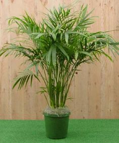 Cat palm ~ for by the pool!