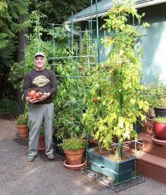 My cherry tomato plant in the GrowBox exceeds 10 feet in height (nearly double my height) and is full of tomatoes I'm standing in front of 5 growboxes full of 2014 tomatoes.  Dick G., Portland, OR