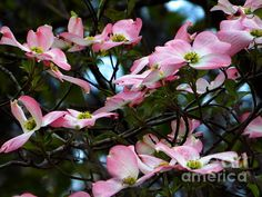 Pink Dogwood by Andrea Anderegg