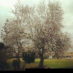 casi casi primavera, almendros en flor.