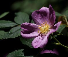Wild Rose photographic art ~ a close-up photo of a sunlit purple wild rose at Red Butte Garden in Salt Lake City, Utah.    www.ronablack.com