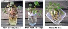 How to plant the slips when regrowing Sweet Potato
