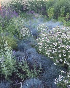 """Homestead Design Collective (@homesteaddesigncollective) on Instagram: """"Nigella hispanica 'African Bride' + Blue Fescue in our meadow planting at @sunsetmag 's test…"""""""