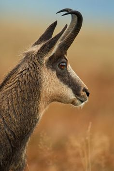 Chamois by Stefan Rosengarten on 500px