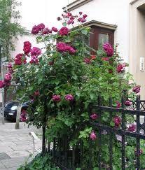 rose charles de mills - Google Search