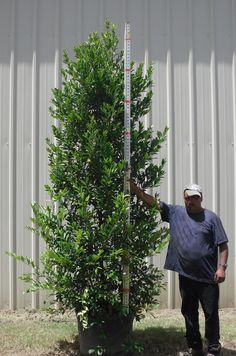 Cherry laurel, excellant for screen. So are ligustrum. Small Yard Landscaping, Privacy Landscaping, Backyard Privacy, Landscaping Ideas, Privacy Trees, Privacy Plants, Garden Hedges, Garden Trellis, Backyard Plants