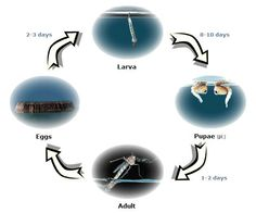 Every mosquito goes through four stages of development: egg, larva, pupa and adult. This process of development is called metamorphosis. Mosquito Larvae, Plant Pests, Mosquito Control, Life Cycles, Ecology, Cycling, Eggs, Crafts, Biking