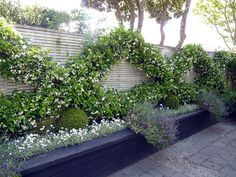 Chinese Star Jasmine, Trachelospermum jasminoides espalier | A Garden Apartment, designed by HEDGE Garden Design & Nursery