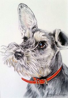 Chloe by Louise Dodds of Portraits by Louise #Miniature #Schnauzer