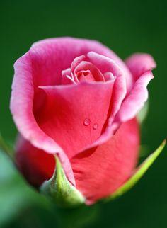Rosebud. Flickr post by brianrosshaslam.