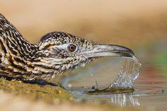 The roadrunner is a member of the cuckoo family. Road Runner Bird, Greater Roadrunner, Texas Animals, Biology Major, State Birds, Bird Gif, Kinds Of Birds, Bird Pictures, Birds Of Prey