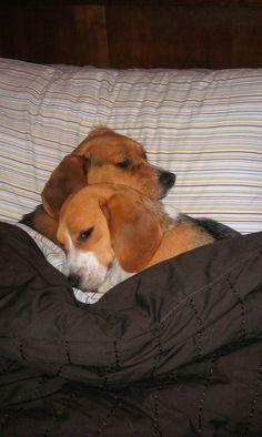 Loving Beagles