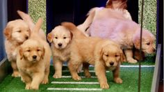 Late Night with Jimmy Fallon: Puppy Bowl 2013: Puppies Predict the 2013 NFL Season Opener