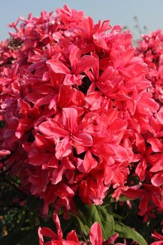 Tall Garden Phlox Phlox Tall Garden paniculata Cleopatra from Growing Colors Love Flowers, Beautiful Flowers, Phlox Plant, Ornamental Cabbage, Flowering Bushes, Flower Names, How To Attract Hummingbirds, Plant Nursery, Annual Plants