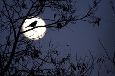 Robin in the Moon