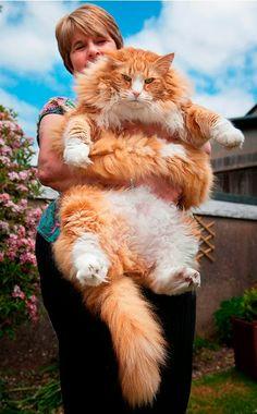 Ulric: A 30-Pound Cat (UK)