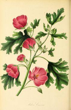 flowers-26800 - Showy Red-flowered Mallow, malva creeana [2897x4444]