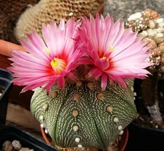 Cacti And Succulents, Planting Succulents, Cactus Plants, Aster Flower, Cactus Flower, Agaves, Amazing Flowers, Beautiful Flowers, Texas Gardening