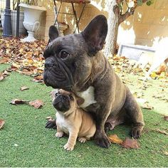 The major breeds of bulldogs are English bulldog, American bulldog, and French bulldog. The bulldog has a broad shoulder which matches with the head. French Bulldog Pictures, French Bulldog Facts, Cute French Bulldog, French Bulldog Puppies, French Bulldogs, Cute Puppies, Cute Dogs, Dogs And Puppies, Doggies