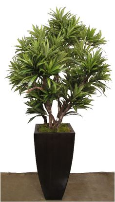TR1036* Dracaena Reflexa  (Custom Sizes Available)( Container sold separately)