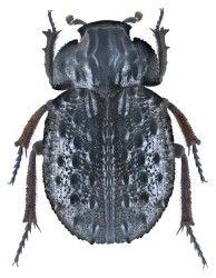 Trogidae Australian Region