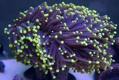 LPS corals stands for Large Polyp Stony Coral. Huge Variety of LPS corals are available now at Aquarium Creations Online! Coral Reef Aquarium, Saltwater Aquarium Fish, Saltwater Tank, Marine Aquarium, Coral Frags, Hard Coral, Coral Reefs, Lps, Tropical Freshwater Fish