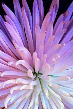 Firework Flower-Beautiful Flower ♥