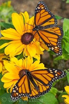 Monarch butterflies by margery Butterfly Kisses, Butterfly Flowers, Monarch Butterfly, Blue Butterfly, Beautiful Butterflies, Beautiful Flowers, Beautiful Beautiful, Butterfly Museum, Flying Flowers