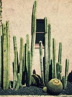Grote, lange cactussen