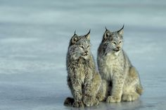Canadian lynx pc Photos.com -Join us in telling Congress to support the Endangered Species Act and ensure a future for our most imperiled species—including wolves, salmon, and spotted owls—and the ecosystems they call home.