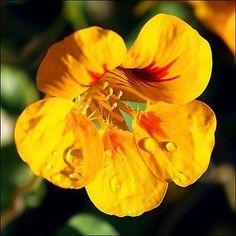50+ Nasturtium Jewels Mix Flower Seeds , Under The Sun Seeds