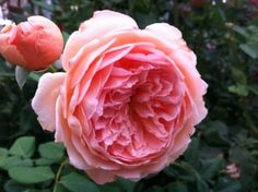 Do's and Don'ts of planting and growing Roses