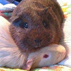 guinea pigs | Tumblr