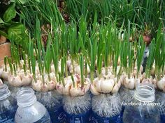 Best 12 party ideas decorations, planting seeds quotes for teachers, kitchen gardening garlic growing pictures, mesh fencing plastic green, en Hydroponic Gardening, Hydroponics, Container Gardening, Organic Gardening, Urban Gardening, Gardening Tips, Growing Plants, Growing Vegetables, Gardening Vegetables