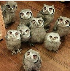 An audience of owls, wonder if they give a hoot.d really want to have owl as Cute Funny Animals, Cute Baby Animals, Animals And Pets, Owl Photos, Owl Pictures, Beautiful Owl, Animals Beautiful, Owl Bird, Mundo Animal